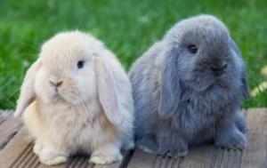 limpieza en conejos
