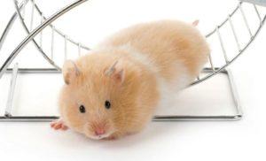 comezon de hamster