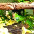 ¿Qué comen las iguanas bebés?