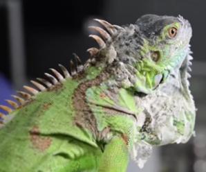 Mi iguana no quiere comer