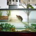 Crea tu acuaterrario para tortuga, fácil y rápido