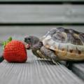 Cuidados básicos de una tortuga de tierra