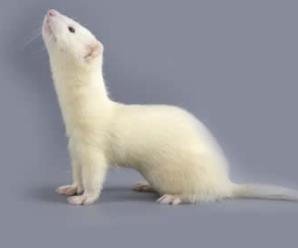 Características del hurón blanco o albino