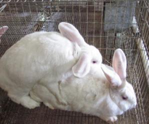 Los conejos en celo