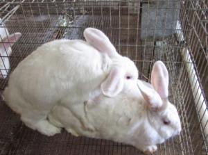 conejos en celo