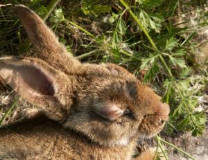 cáncer en conejo