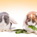 Enfermedades que transmite el conejo al ser humano