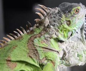 ¿Absceso en iguanas? Todo lo que necesitas saber