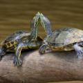 Las tortugas tienen sentimientos