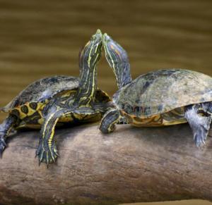 cariño de tortuga