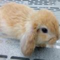 Diferencias de un conejo enano y uno normal