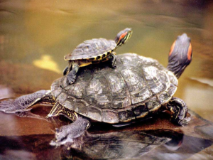 afecto de tortuga
