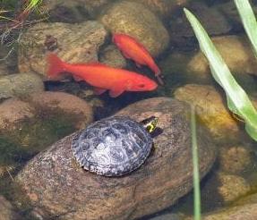 peces con tortuga juntos