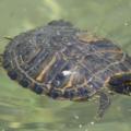 Por que mi tortuga de agua no come