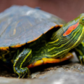 Tortugas que no crecen mucho, ¿cuáles son?