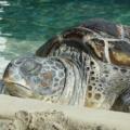 Razones por que la tortuga de tierra solo quiere dormir