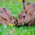 [Mixomatosis en conejos] ¿Que es? ¿Tiene cura?