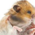 Enfermedades más comunes en hámsters