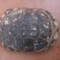Principales razones por las qué le salen manchas blancas en el caparazón de la tortuga