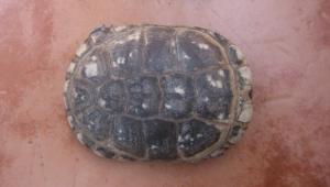 tortuga con manchas blancas en el caparazón