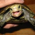Principales causas por las que la tortuga chilla o grita