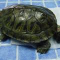 Le salió una bola negra por la cola a la tortuga (prolapso cloacal) ¿Qué es? ¿Qué hacer?