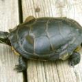 Proceso del cambio de la piel y el caparazón de las tortugas