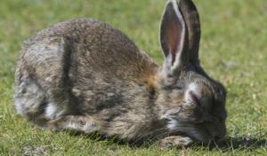 vomito en conejos