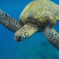 5 tipos de Tortugas marinas en peligro de extinción | causas y efectos