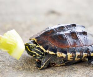 Cuanto tiempo tarda sin comer una tortuga