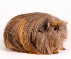 Las 5 principales razas de cobaya de pelo largo