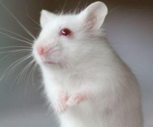 Hámster albino, todo lo que necesitas saber.| Características, y cuidados.