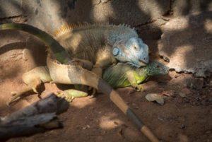apareamiento de la iguana