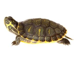Tortuga de Cumberland (trachemys scripta troosti) | características e información