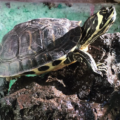 Conoce todo sobre la tortuga de orejas amarillas