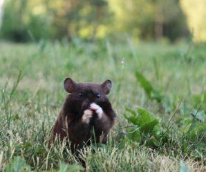 Principales características del hámster oso negro