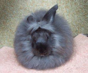 Conejo de angora   Curiosidades y características físicas.