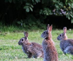 Conejos en peligro de extinción