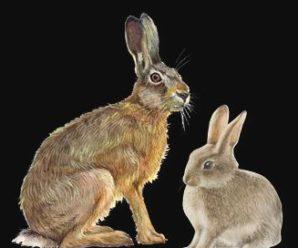 Diferencias entre los conejos y liebres