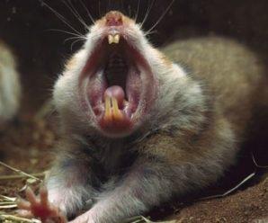 Problemas dentales en hámsters