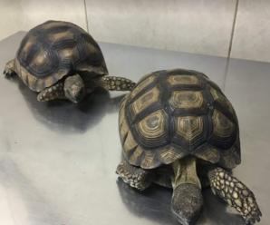 Diferentes tipos de tortugas de tierra