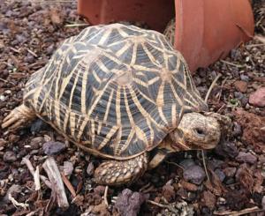 Tortuga estrellada (Geochelone radiata)