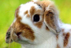 como tratar a los conejos con pulgas