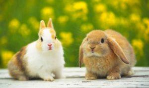 esterilización y castración en conejos