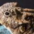 Iguana Cornuda