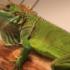 ¿Cómo domesticar a una iguana?