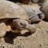 Principales características de las tortugas del desierto (Gopherus morafkai y Gopherus agassizii)