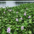 5 Mejores plantas acuáticas comestibles para tortuga