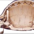 ¿Por qué las tortugas tienen caparazón?