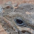 Iguana rinoceronte